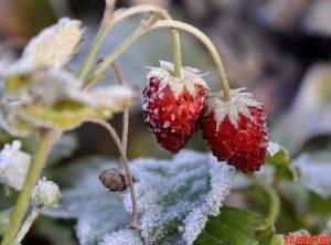 Как уберечь клубнику от заморозков: 120 фото как правильно укрыть клубнику