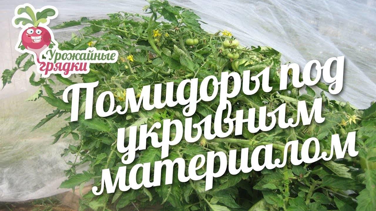 Как выращивать помидоры под укрывным материалом