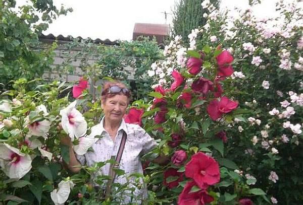 Гибискус садовый: нюансы выращивания