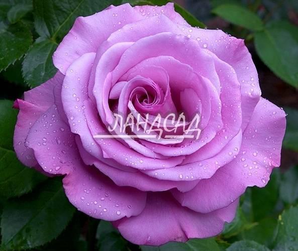 О розе аква (aqua): описание и характеристики, выращивание чайно гибридной розы