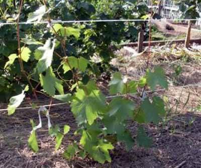 Правильная посадка винограда — залог хорошего урожая