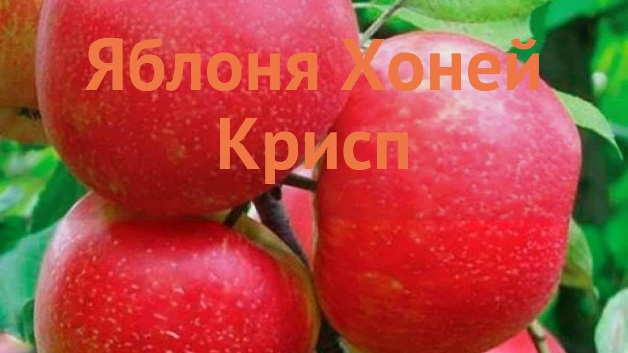 Сорт яблок целеста