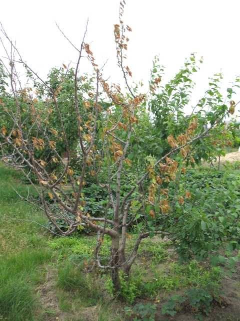 Почему засохла слива после зимы. что для сливы важно? дерево без листьев