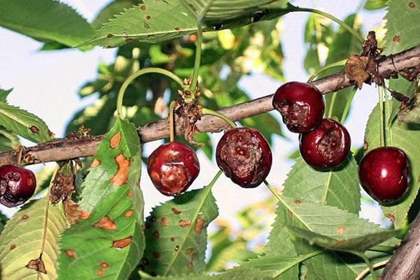 Болезни сливовых деревьев и их лечение