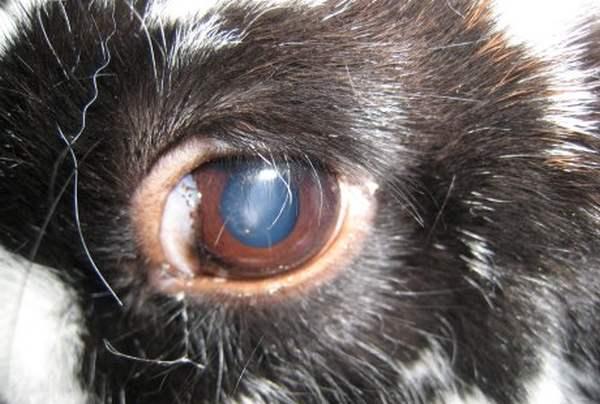 Болезни глаз у кроликов и их лечение 2020