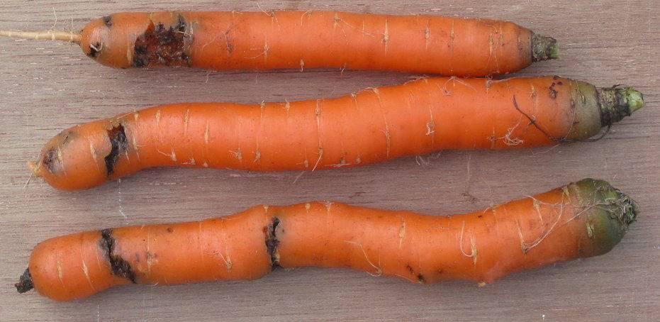Как избавиться от морковной мухи на грядках: лучшие народные средства
