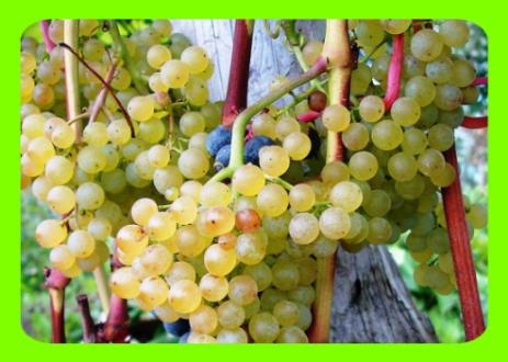 Виноград «коринка русская»: неприхотливый и урожайный сорт