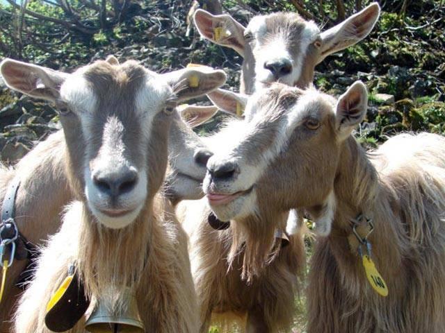 Козы камори (11 фото): описание породы пакистанских коз, содержание их в россии и других странах. показатели молока