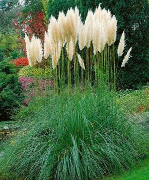 Пампасная трава в подмосковье