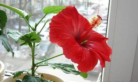Почему гибискус — это цветок смерти?