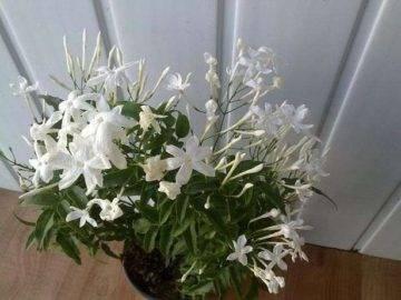 Как выращивать жасмин из семян в домашних условиях
