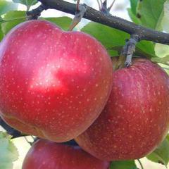 Как вырастить крупный сорт яблони апорт?