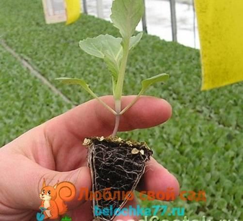 Выращивание рассады капусты в домашних условиях: когда сажать по лунному календарю