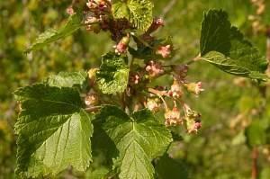 Почему осыпаются ягоды у смородины - уход, профилактика заболеваний и советы по сохранению урожая (80 фото)