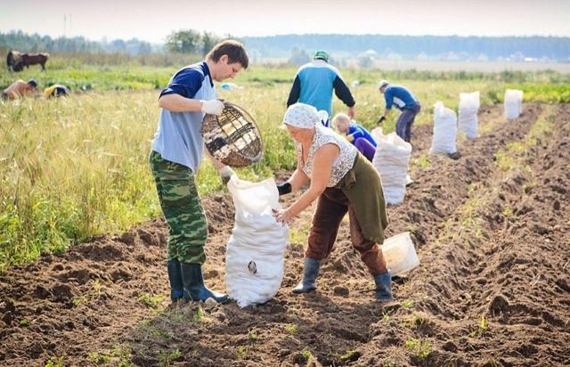 Копать картошку крупных
