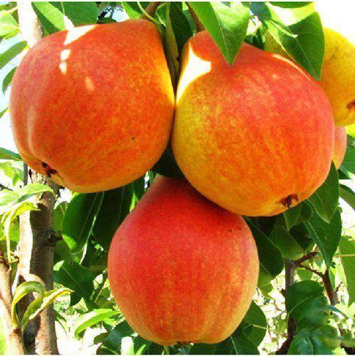 Подробное описание сорта груш любимица клаппа - плодовые деревья - 2020