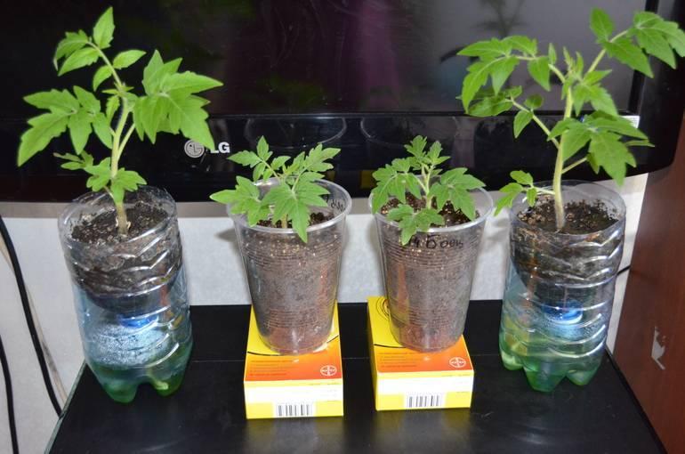 Думаете, чем подкормить помидоры для роста? читайте все о лучших подкормках для быстрого и правильного развития!