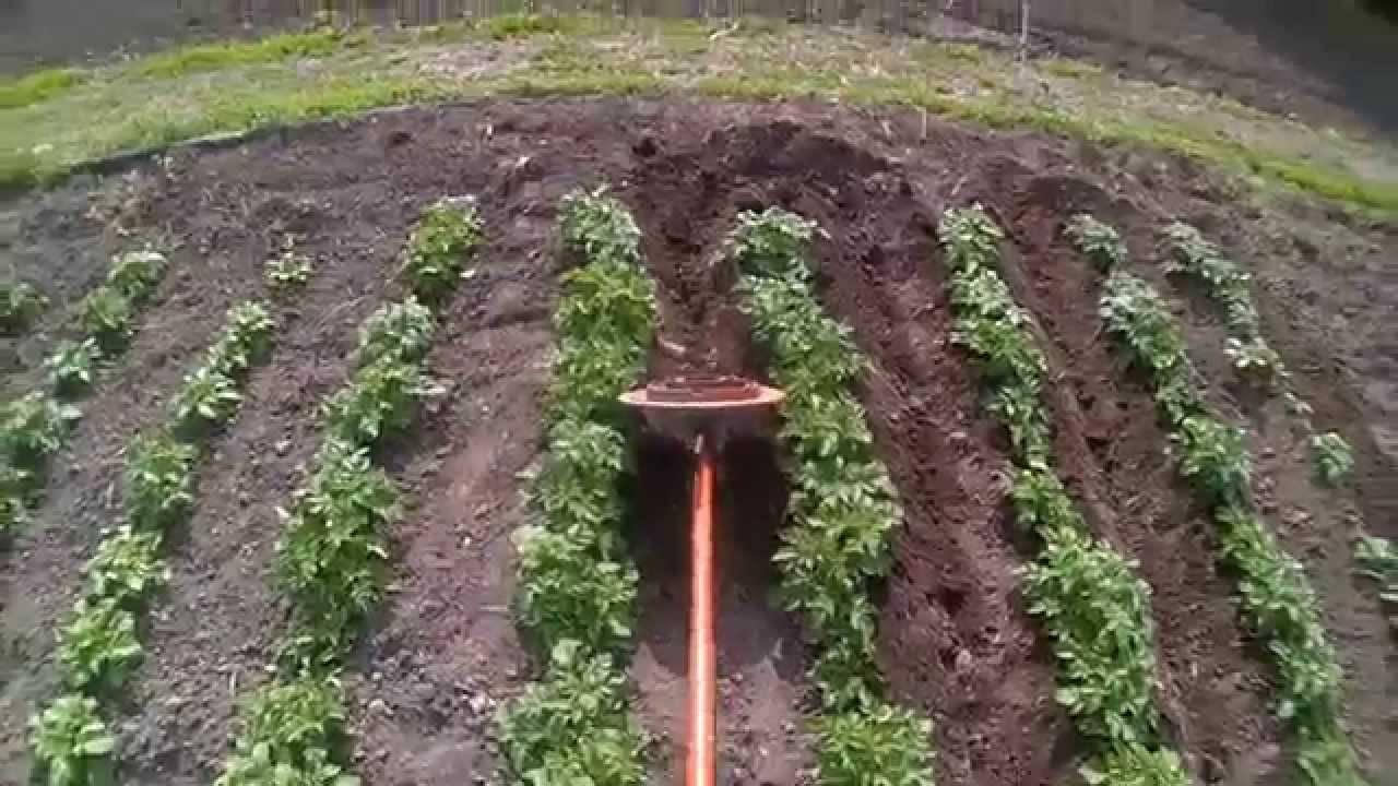 Когда окучивают картофель первый раз и после