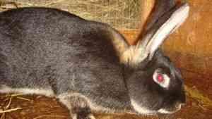 Чем кормить кроликов после окрола