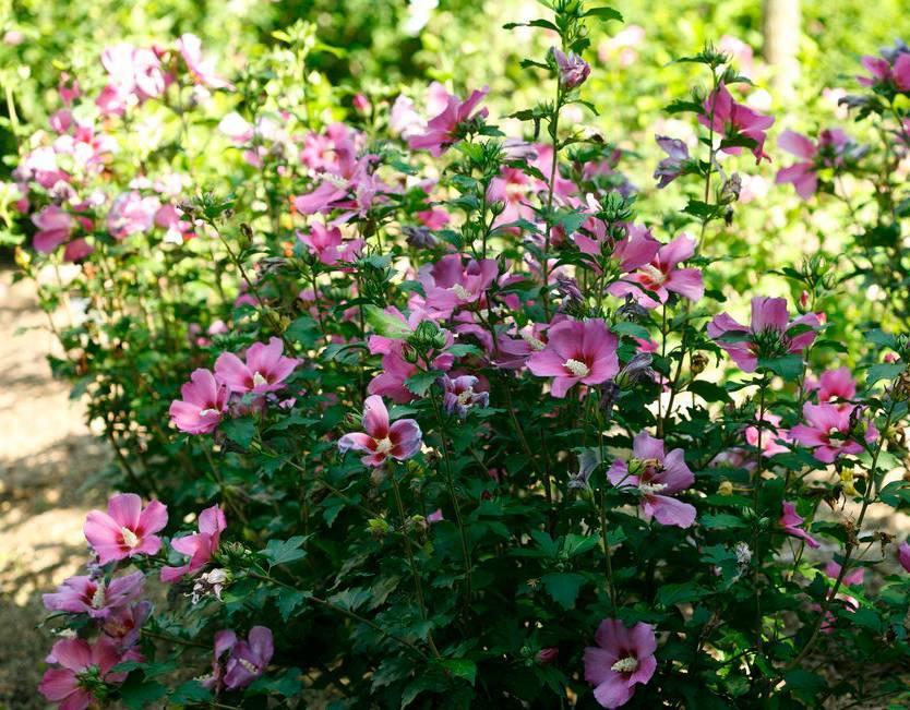 Гибискус садовый или китайская роза — виды, выращивание в открытом грунте