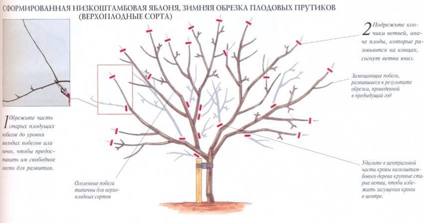 Как и когда можно обрезать абрикосы в весенний период