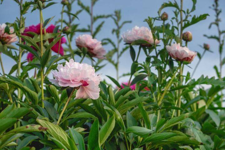 Как ухаживать за пионами весной, чтобы добиться их пышного цветения