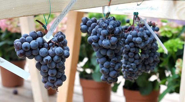 Сажаем виноград весной правильно: когда и как высаживать саженцы в грунт — инструкция для начинающих