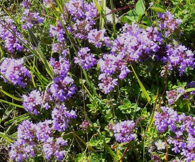 Трава чабрец - лечебные свойства и противопоказания
