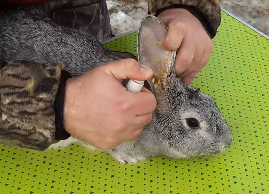 Болезни ушей у кроликов: фото, лечение в домашних условиях (народные средства, препараты), симптомы (шишки, язвы, короста)