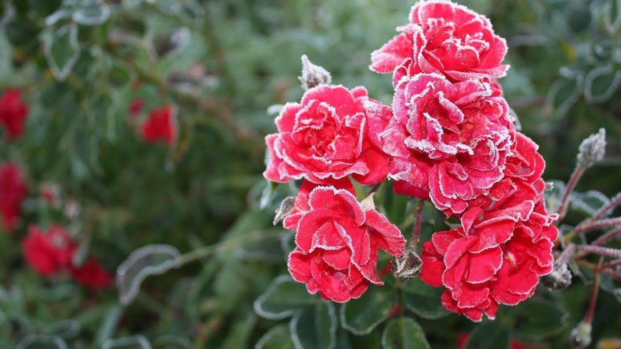 Правильная пересадка кустов роз на новое место