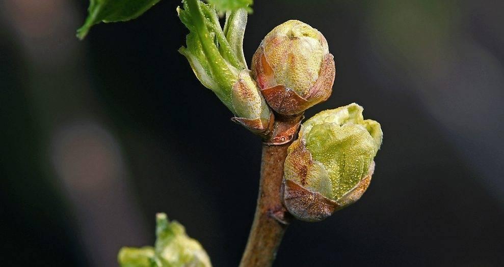 Борьба с почковым клещом на смородине весной и осенью