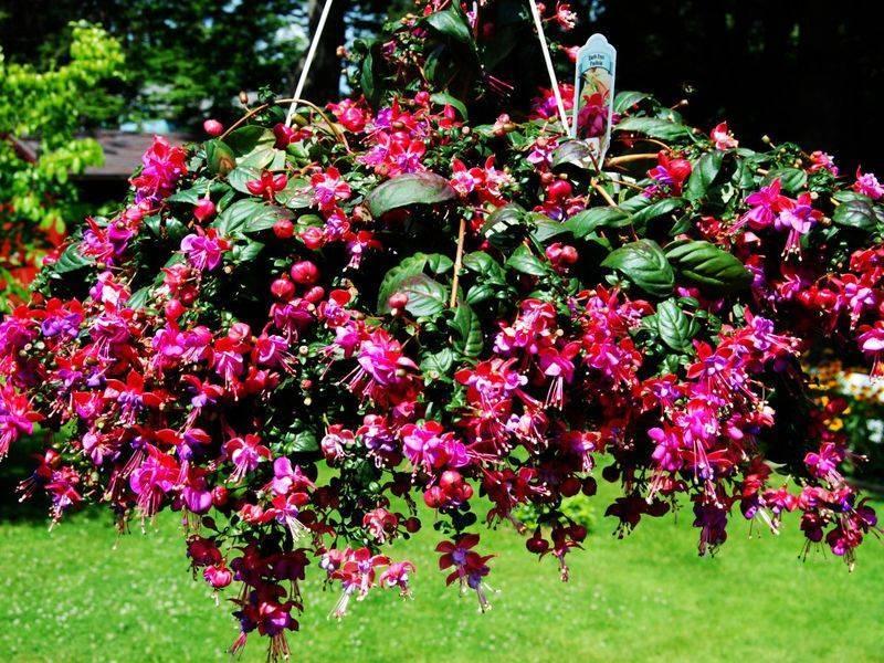 Популярный комнатный и садовый цветок фуксия: выращивание и уход за растением