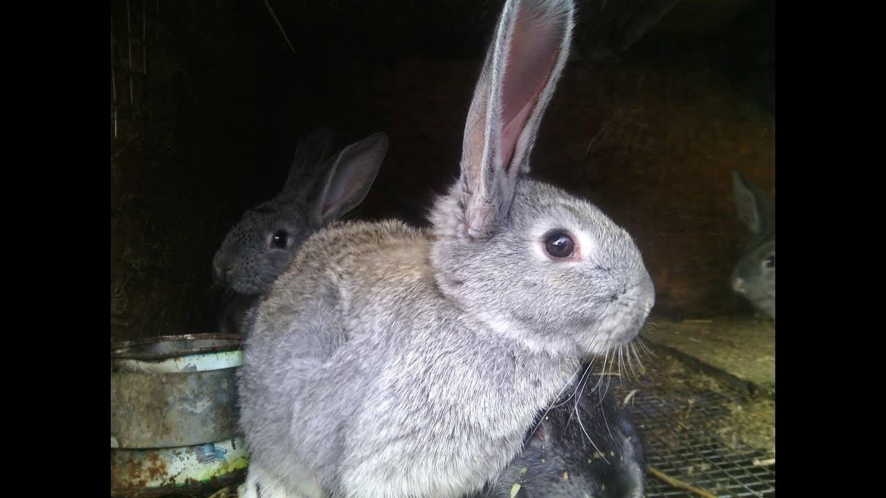 Как выкармливать крольчонка без крольчихи: искусственное вскармливание