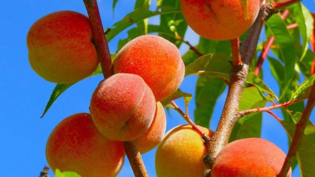 Нектарин это гибрид персика и сливы. виды