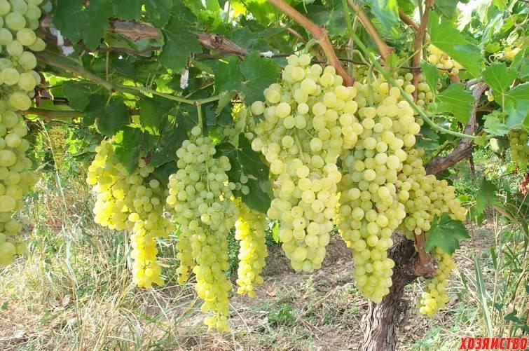 Характеристики винограда восторг и как вырастить этот сорт?