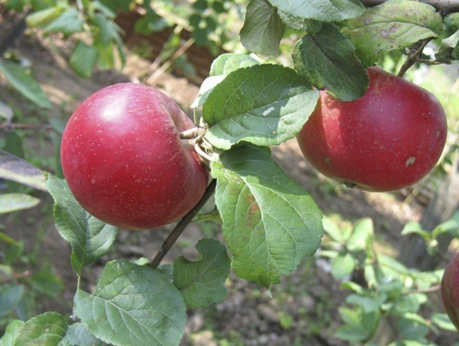 Яблоня «краса свердловска»
