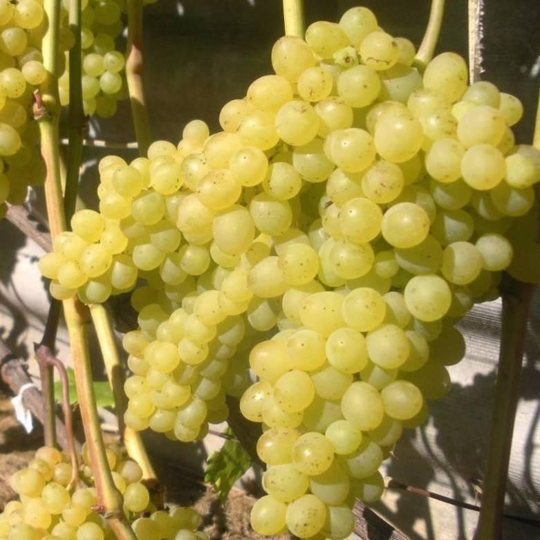 """Виноград """"кишмиш 342"""": описание сорта и его фото, особенности выращивания, болезни и вредители"""