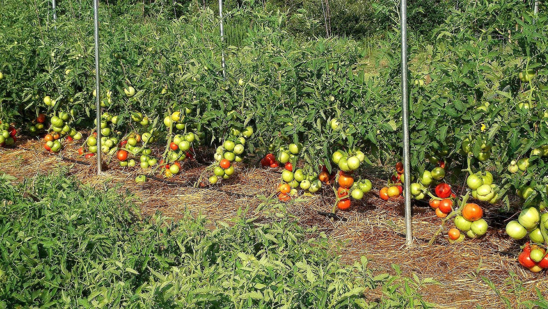 Посадка помидор под пленку рассадой – 4 главных условия и особенности проведения работ