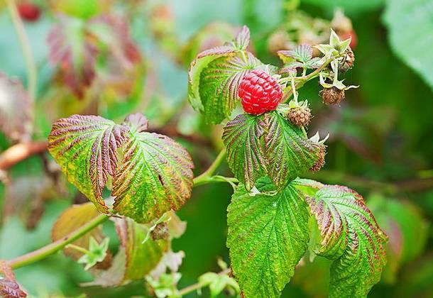 Болезни малины – ржавчина, антракноз, мучнистая роса, вертициллезное увядание, пурпуровая пятнистость