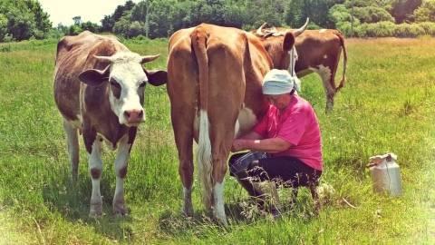 Почему корова не покрывается и как узнать что корова покрылась?