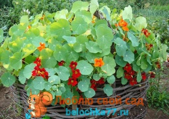 Особенности выращивания настурции на даче