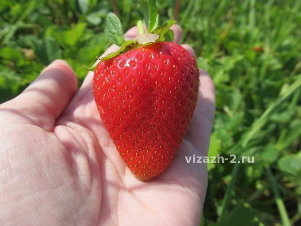 Клубника «азия» — крупный сорт ягод из италии