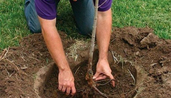 Как правильно посадить яблоню весной, видео – как вырастить яблоневый сад?