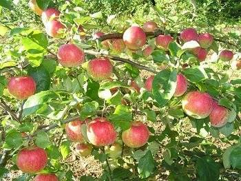 Выбираем зимние сорта яблонь для подмосковья