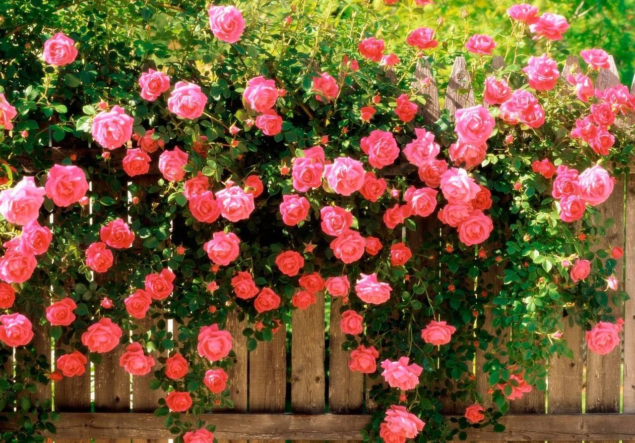 Все о садовых розах: характеристика видов и сортов садовых роз, посадка и уход