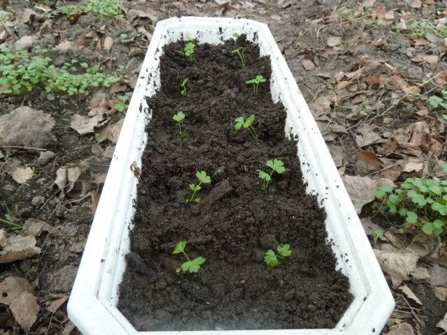 Посадка сельдерея корневого на рассаду: как правильно посеять семена