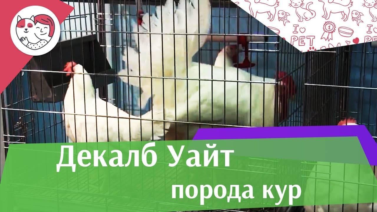 Декалб порода кур: описание, фото, яйценоскость, содержание и кормление