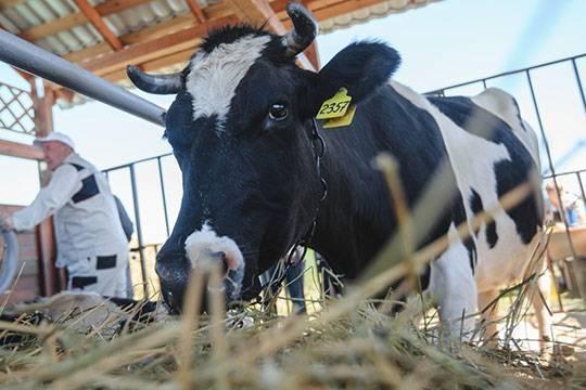 Лейкоз у коровы: симптомы, причины, последствия