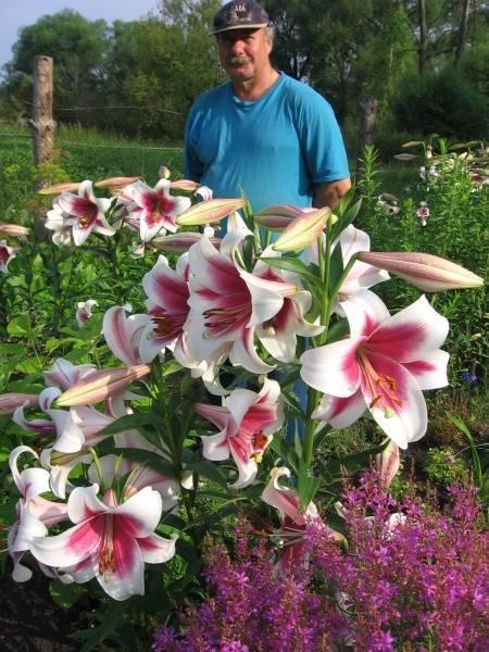 О лилии регале (характеристики, посадка и уход за трубчатой, белой лилией)