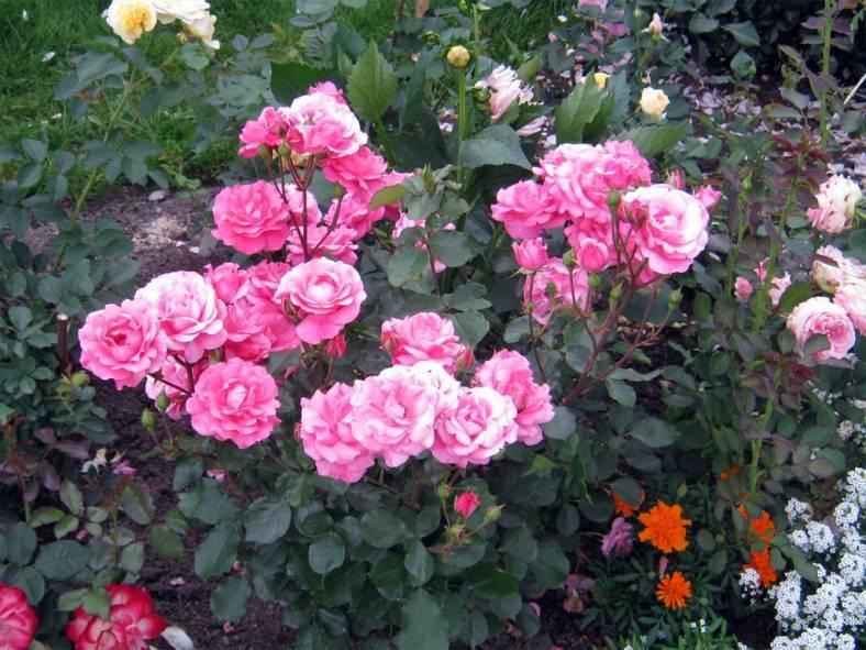 Роза амелия ренессанс отзывы